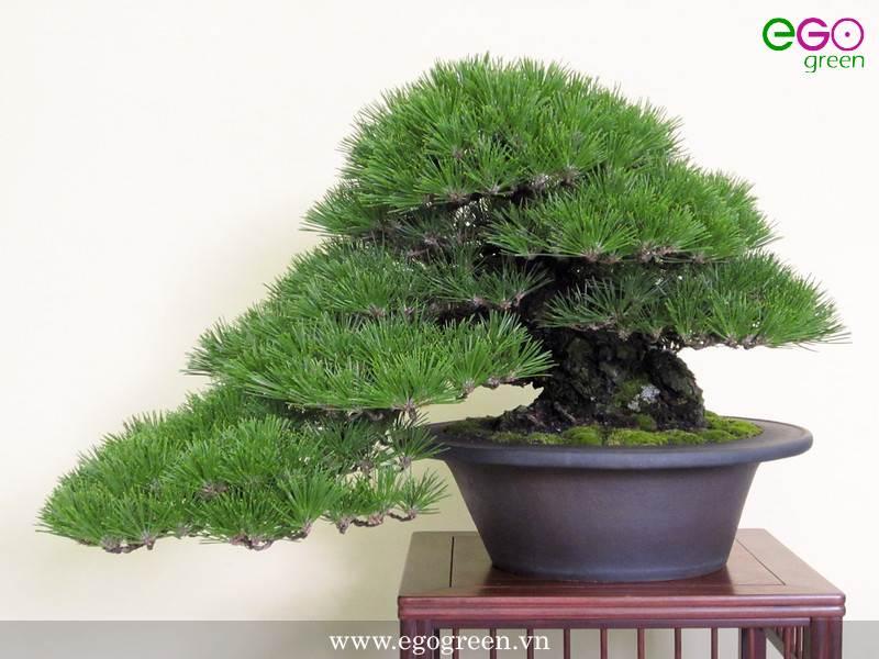 Cách tạo dáng cây bonsai
