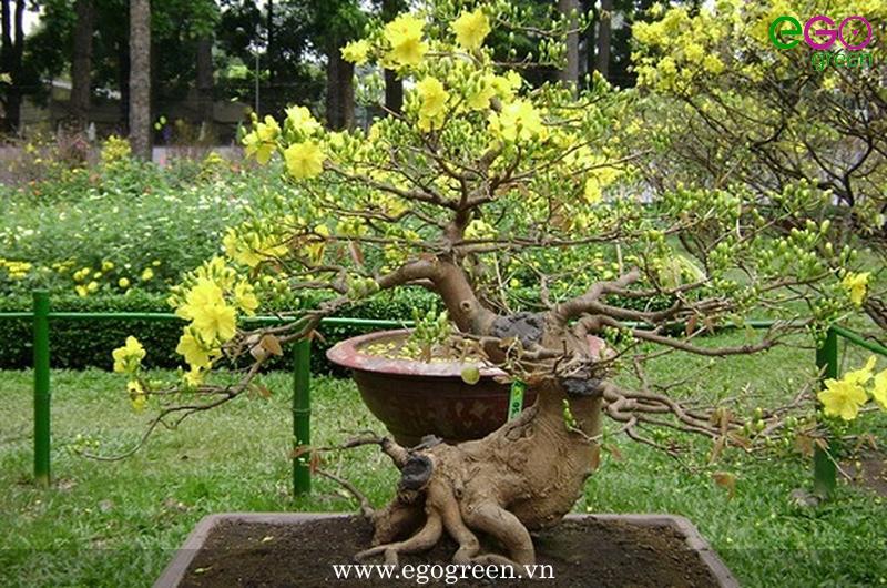 Kỹ thuật cắt tỉa cây mai